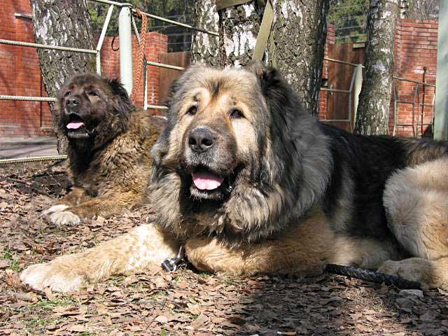 Сравнение алабая с: кангалом, кавказской и немецкой овчаркой, армянским волкодавом, московской сторожевой и тибетским мастифом