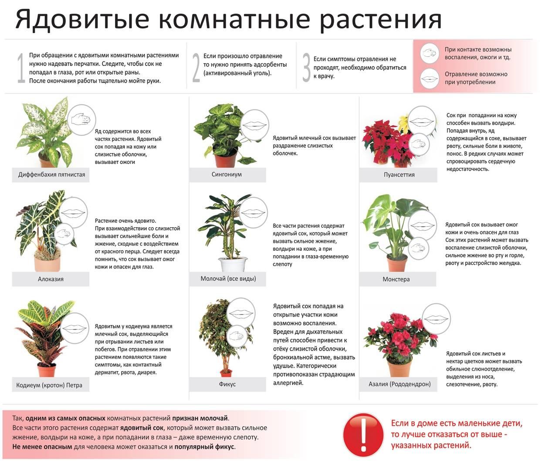 Ядовитые комнатные растения (35 фото): чем опасен молочай, олеандр и другие домашние цветы для человека?
