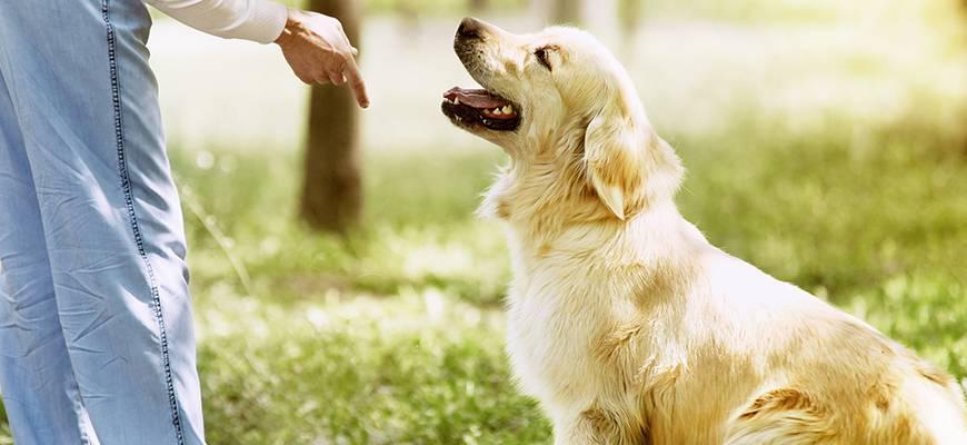 Дрессировка командам и воспитание щенка лабрадора