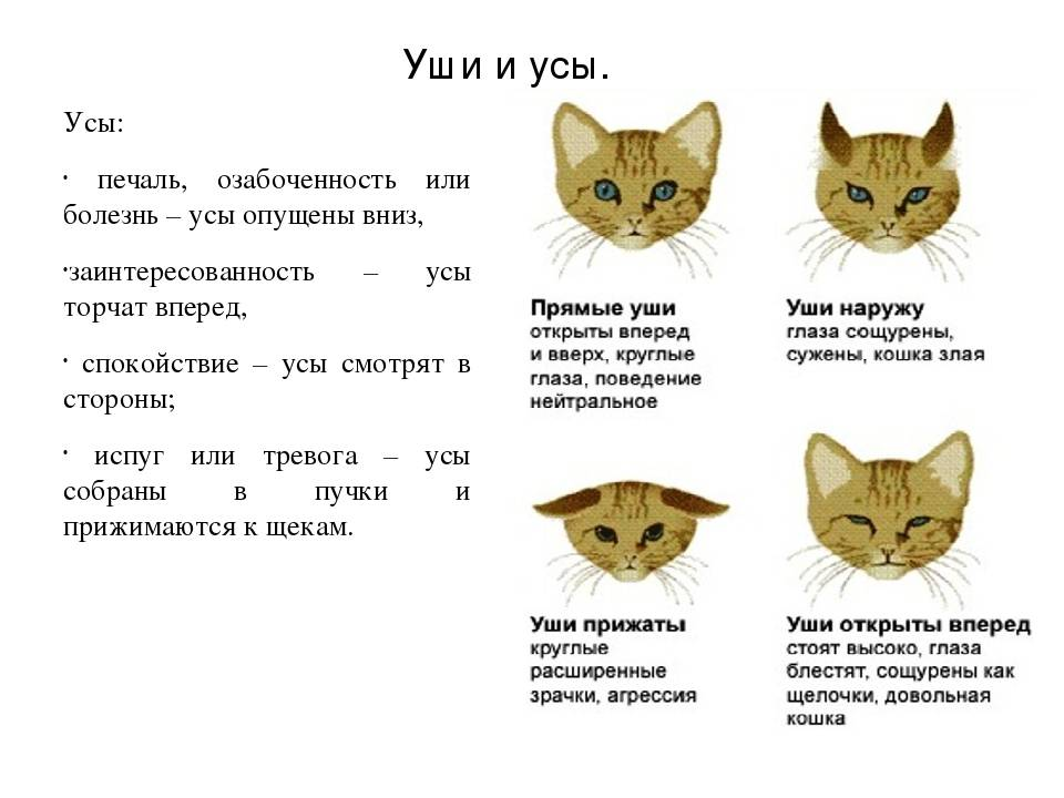 Как узнать и определить породу кошки в домашних условиях
