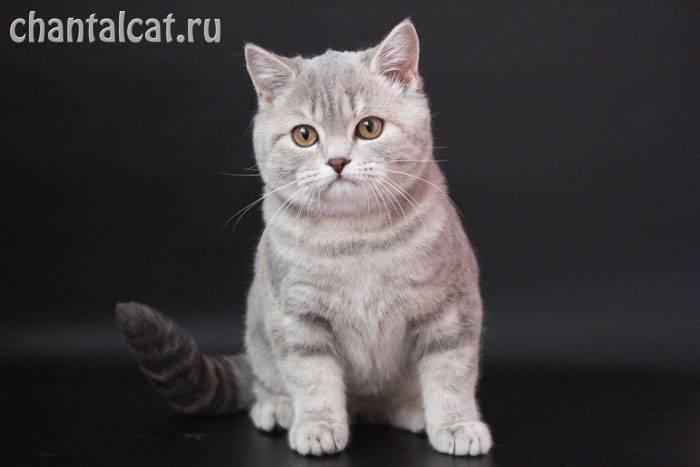 Шотландские прямоухие кошки: описание породы, виды окраса и содержание