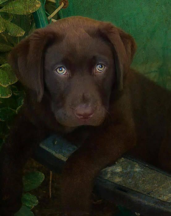 Лабрадор ретривер собака. описание, особенности, уход и цена лабрадора ретривера   животный мир