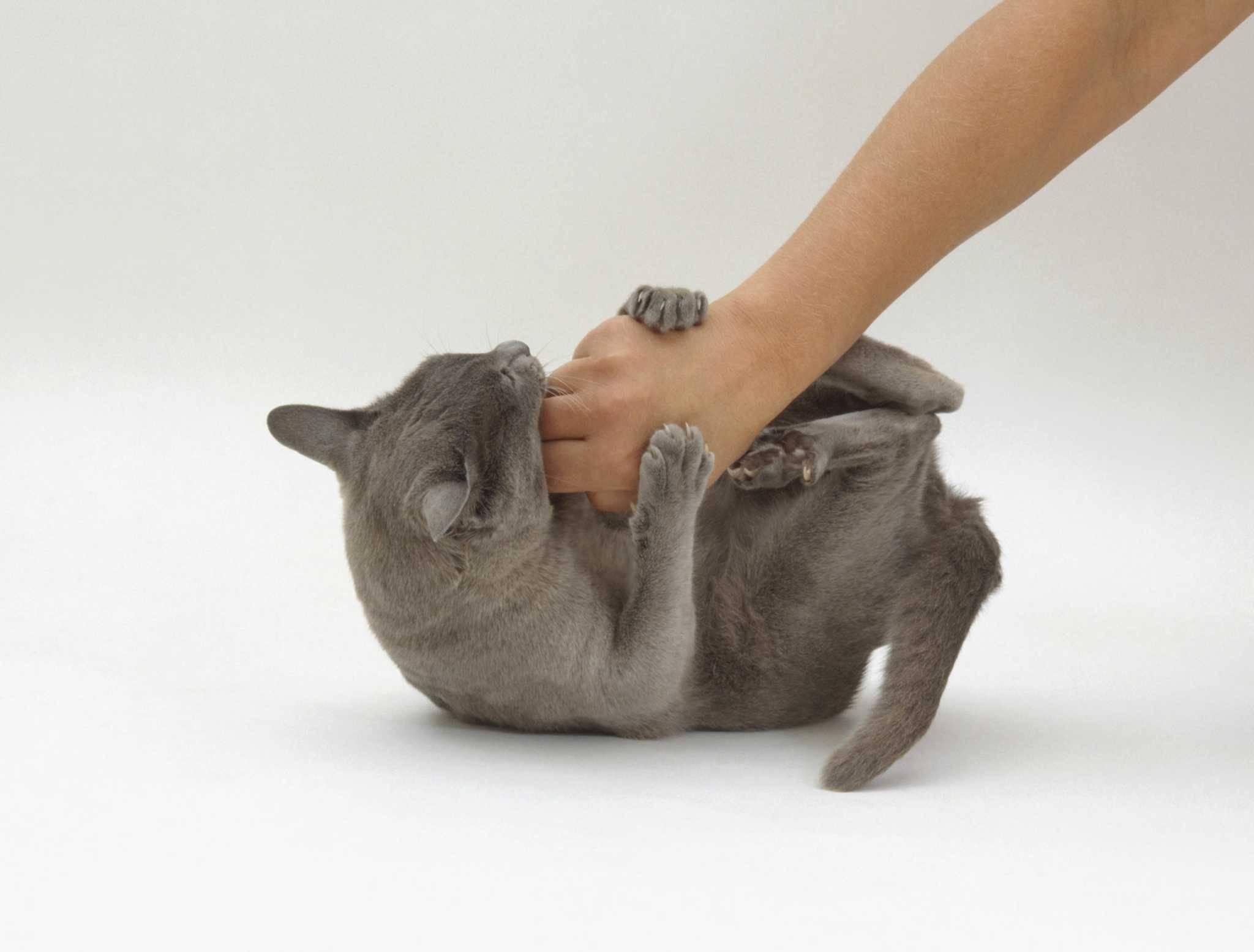 Почему котенок постоянно кусается, царапается и проявляется агрессию постоянно или когда его гладишь: что делать?