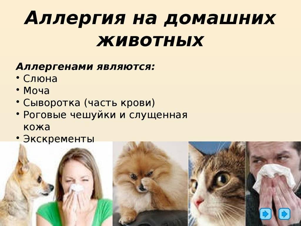 Аллергия на кошек: симптомы, как она проявляется, как избавиться навсегда и можно ли держать дома кошку