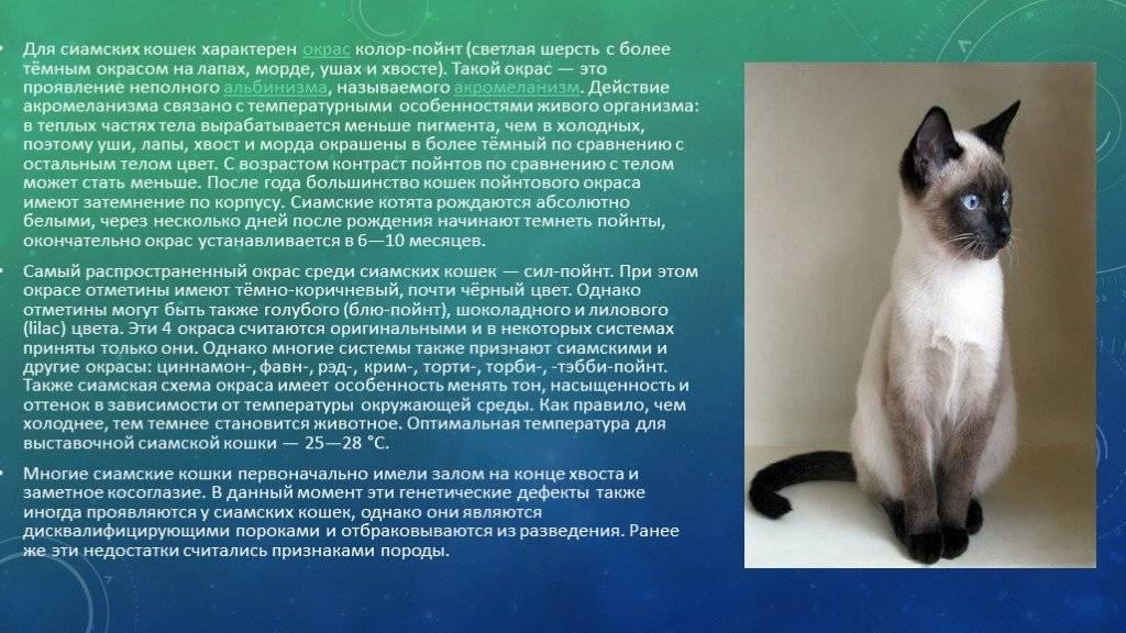 Какой характер у сиамской породы кошек? достоинства и отличительные черты - твой питомец