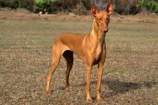 Фараонова собака. воплощение бога анубиса на земле