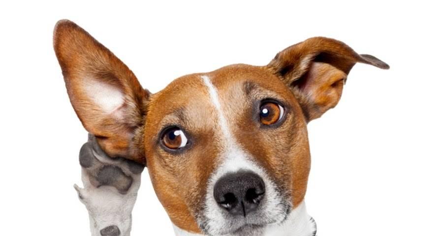 Зачем собаки наклоняют голову в бок