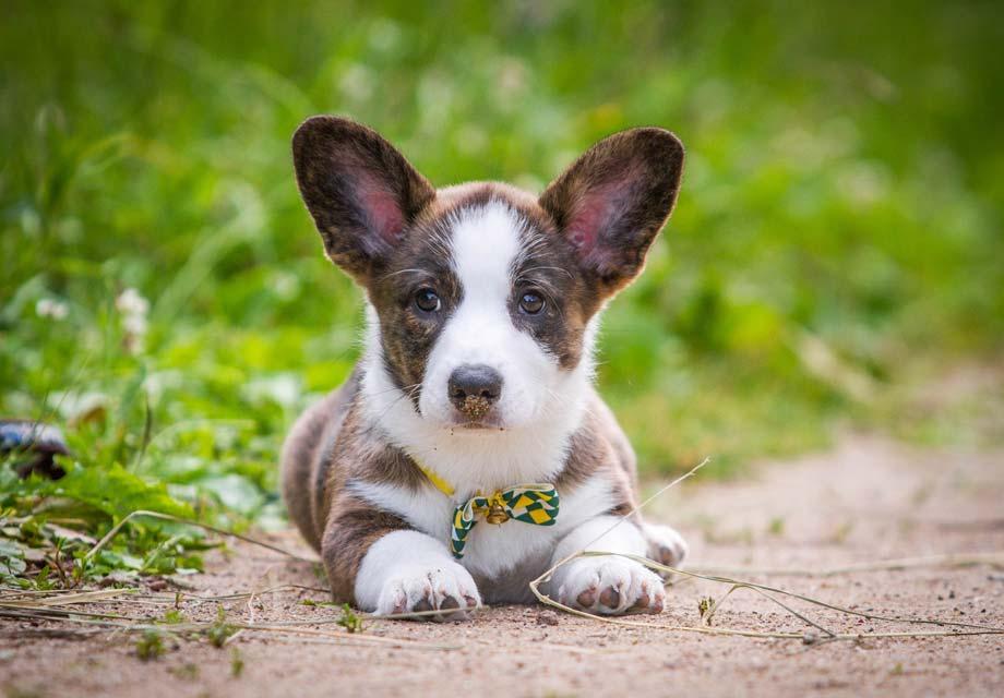 Подробная характеристика породы вельш корги кардиган: особенности собак