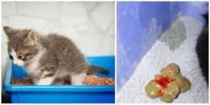 Кровь у кошки из заднего прохода: причины и лечение, диагностика, меры профилактики