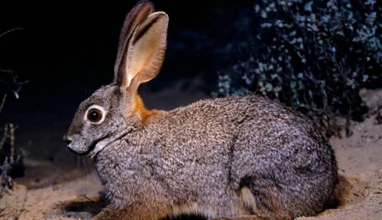 Заяц - виды, где живет, описание, окрас, чем питается, размножение