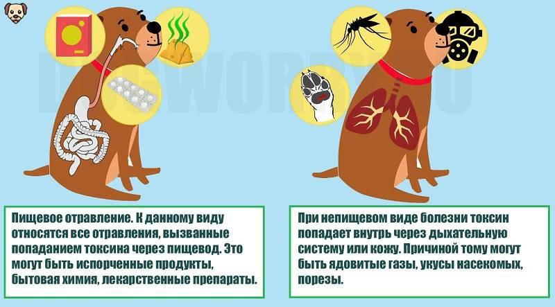 Что делать, если собака съела крысиный яд: признаки отравления, противоядие и лечение