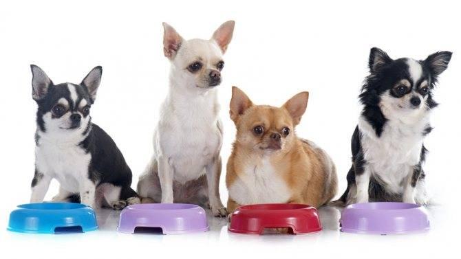 Чем кормить щенка чихуахуа — питание, корма, запрещенные продукты
