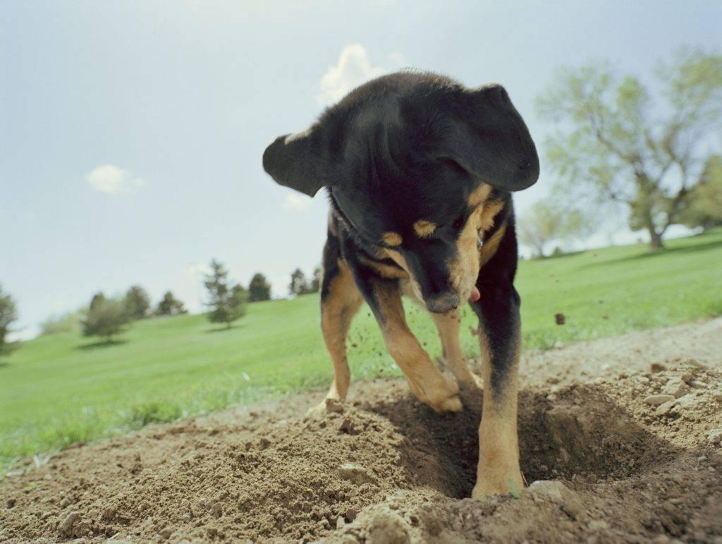 Почему собака постоянно скулит и гавкает