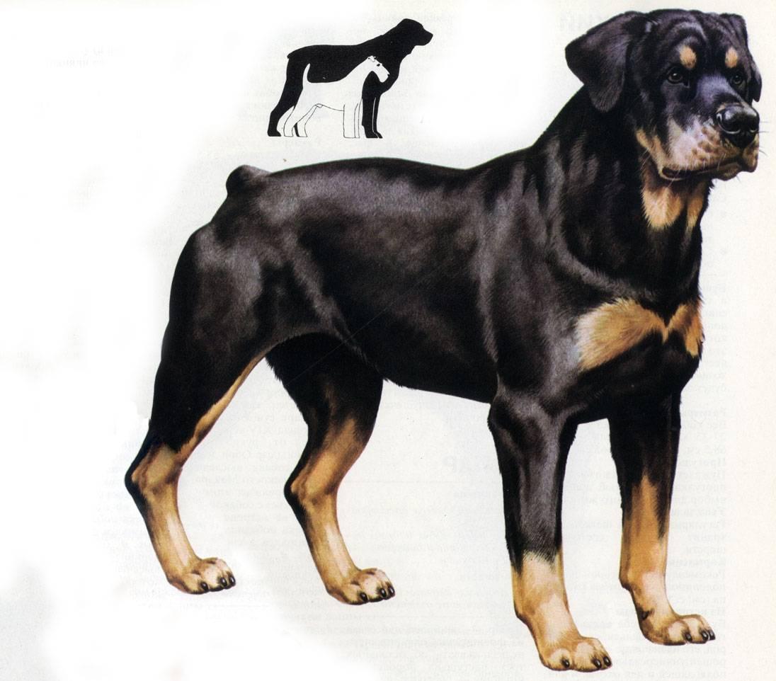 Подробное описание и характеристика породы собак ротвейлер