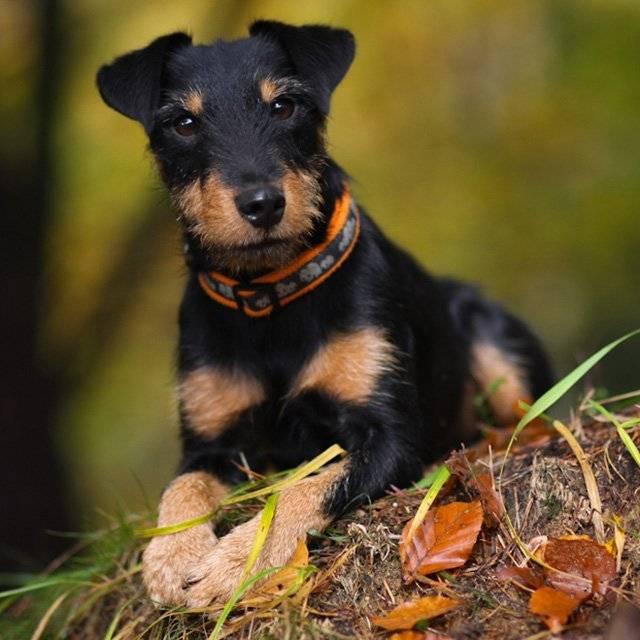Немецкий ягдтерьер собака. описание, особенности, виды, уход и цена породы | животный мир