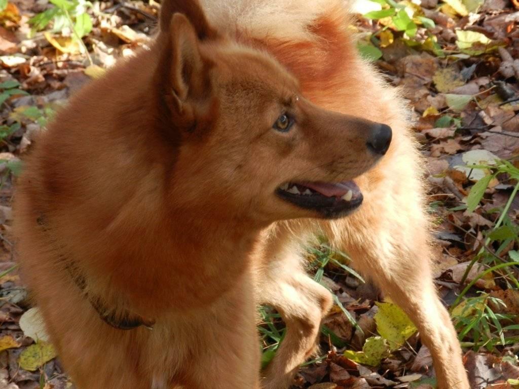 Карело финская лайка. описание, особенности и уход за породой | животный мир