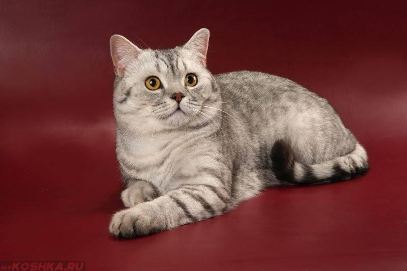 Шотландская прямоухая кошка-скоттиш страйт: описание, фото, характер, особенности ухода и содержания породы