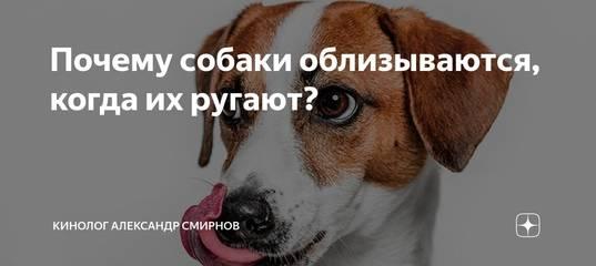 Почему собака может постоянно облизываться?