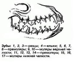 Строение челюсти и зубов у человека: клыки, моляры и резцы