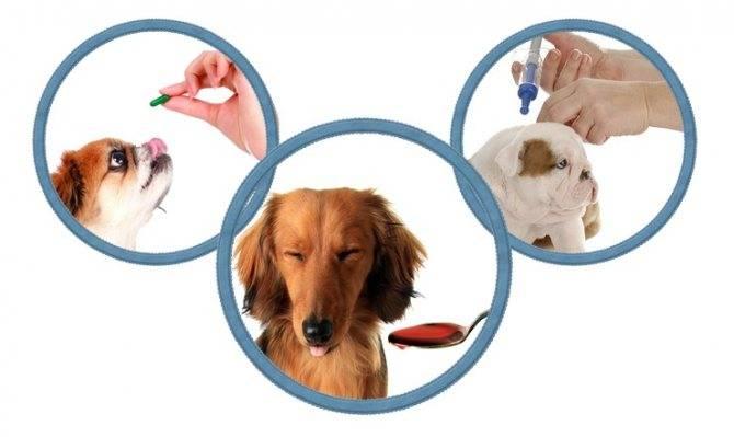 Как, зачем и чем глистогонить собаку