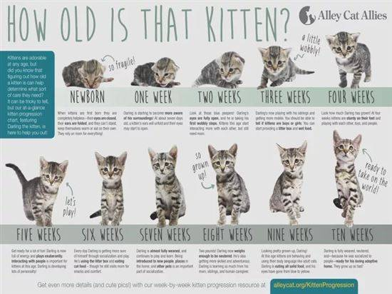 Как определить возраст котенка в домашних условиях: по зубам, внешнему виду, хвосту или поведению