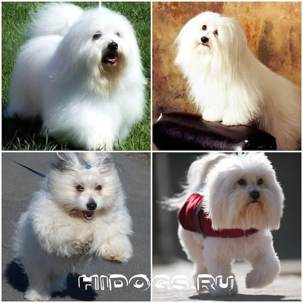 Болонка (собака): виды, описание породы, как выгляди