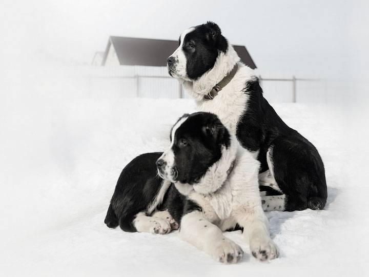 Собака алабай - характеристика породы и особенности содержания