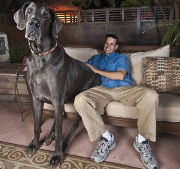 Топ-30 самые крупные собаки: фото с названием и описанием породы