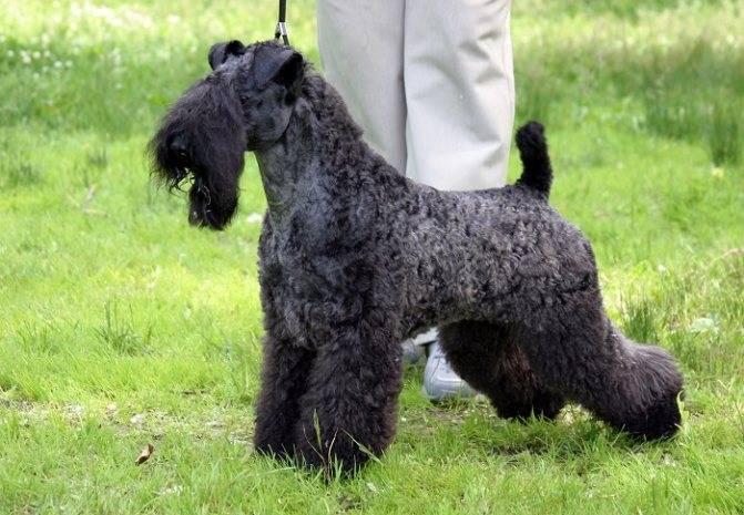 Керри блю терьер-собака с необычным окрасом ⋆ собакапедия