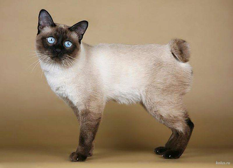 Характер и описание кошек бирманской породы, рекомендации по уходу