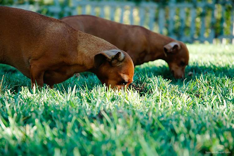 Копрофагия: почему собака ест экскременты и что делать   dogkind.ru