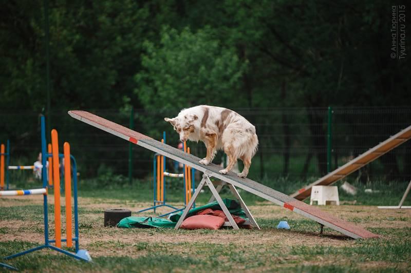 Что такое аджилити? правила, снаряды и породы собак для аджилити   sobakagav.ru