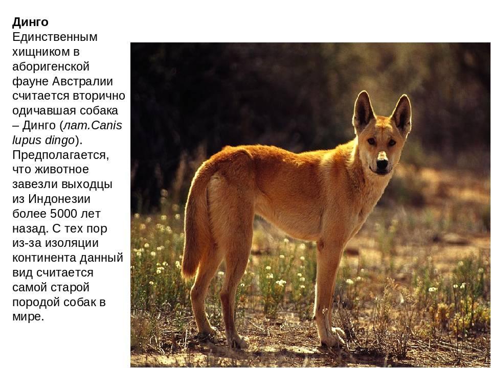Собака динго в природной среде и дома