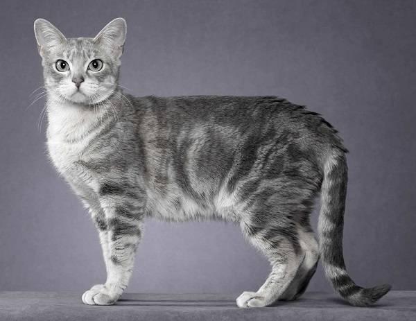 Табби кошка: разнообразие рисунков, основные и редкие типы окраса животных
