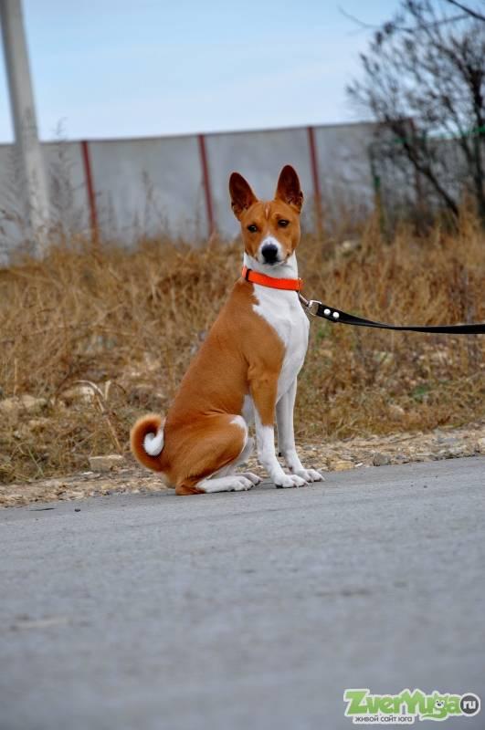 Подробное описание и характеристика породы собак басенджи