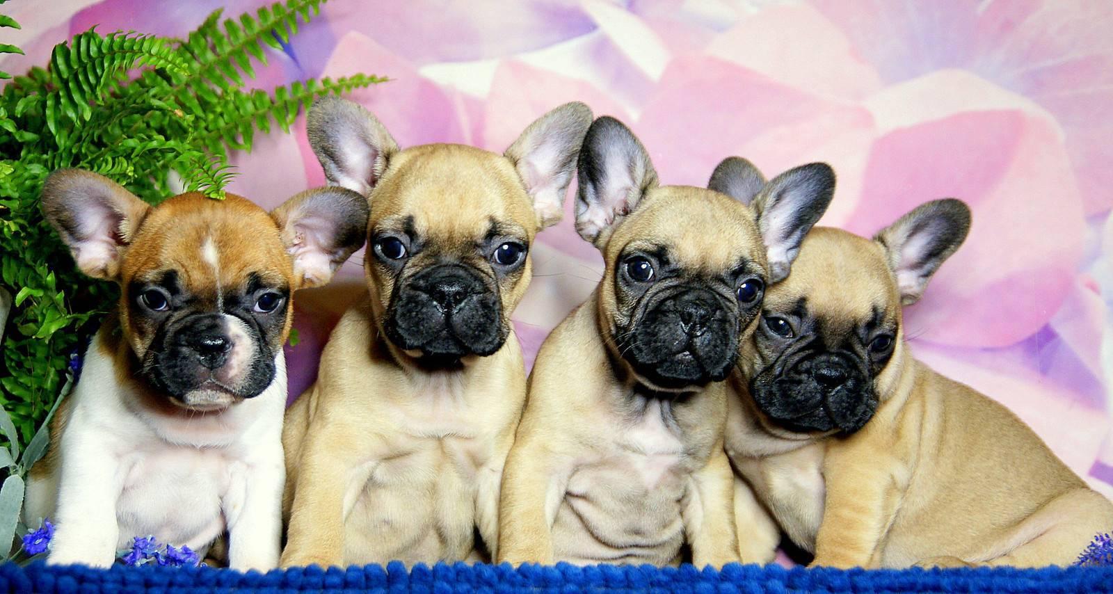 Французский бульдог и ребенок - отношения, воспитание собаки, обустройство места для питомца.