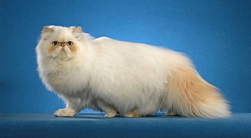 Характер сиамской кошки (24 фото): описание и особенности породы, характер и повадки девочек. злые ли коты? достоинства и недостатки котят