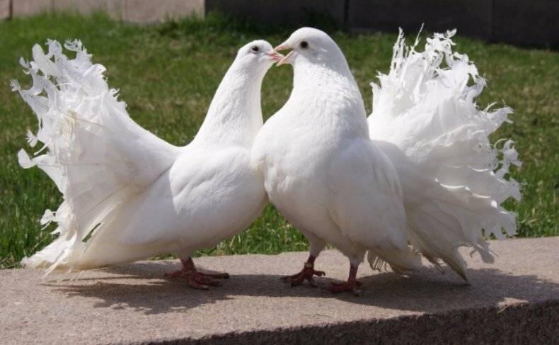 Необычные породы голубей с длинными перьями на лапах. топ-5 самых привлекательных