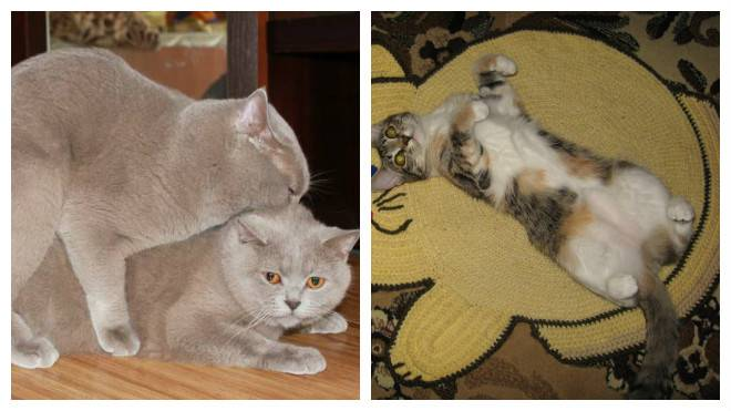 Течка у кошек – как успокоить, когда начинается, сколько длится
