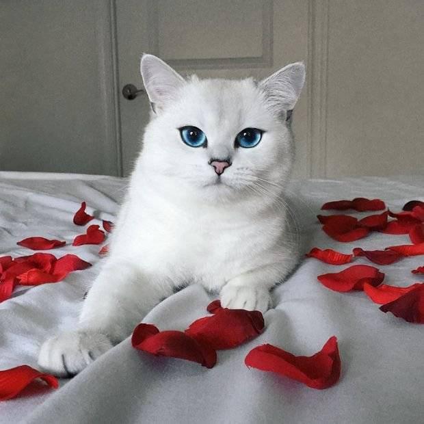 Порода кота коби, популярного в инстаграме. история котика.