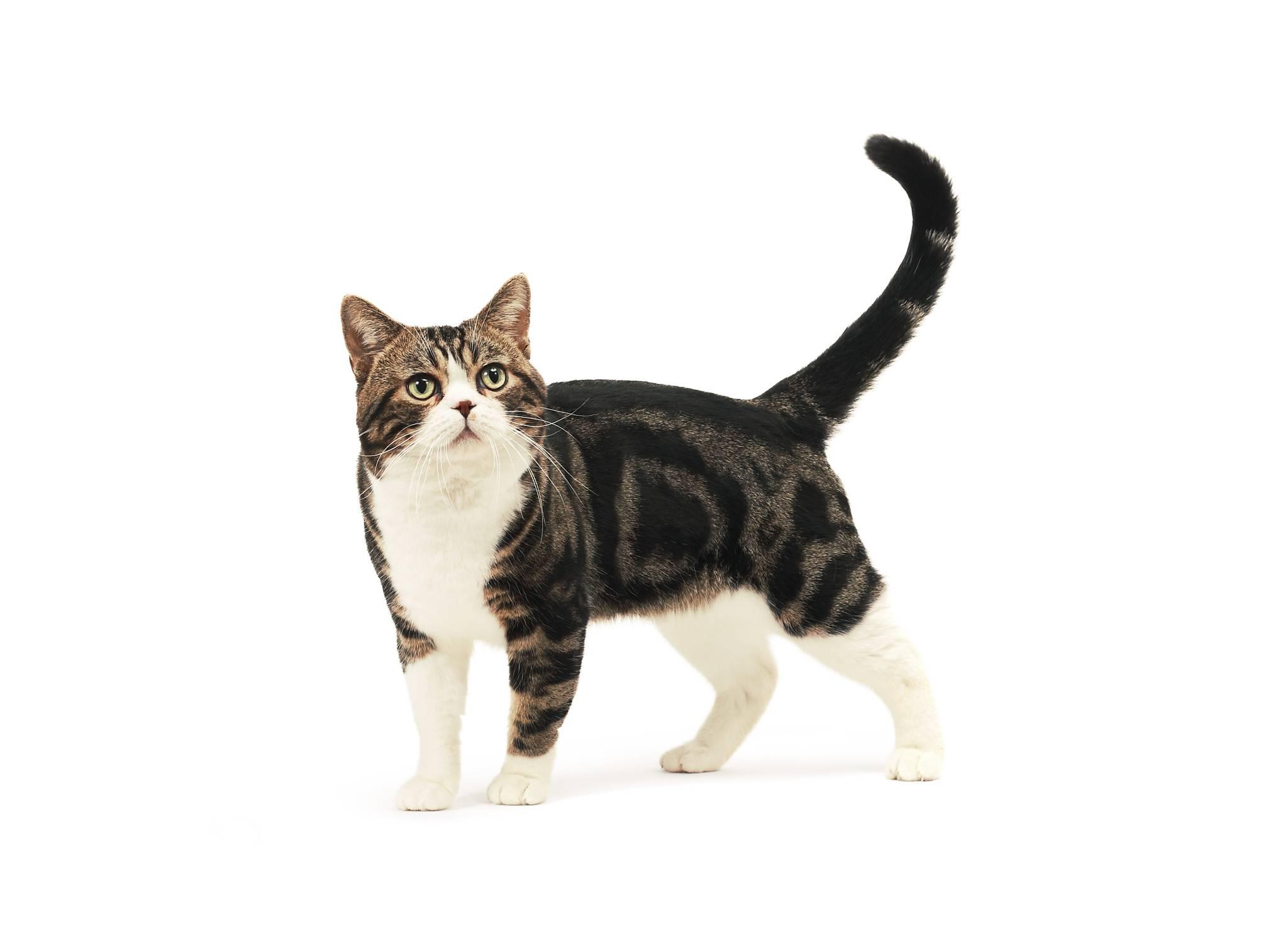 Американская короткошерстная кошка (фото): кошачий долгожитель - kot-pes