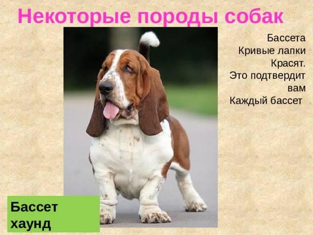 Бассет-хаунд — собака с большими ушами: описание и характер породы