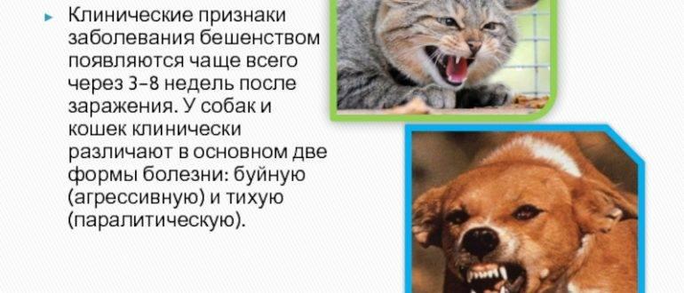 Как проявляется бешенство у кошек: симптомы и первые признаки, инкубационный период