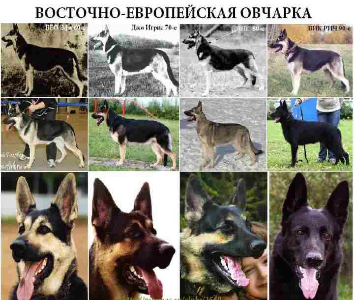 Восточно-европейская овчарка: характеристика собаки, описание породы, продолжительность жизни, щенки