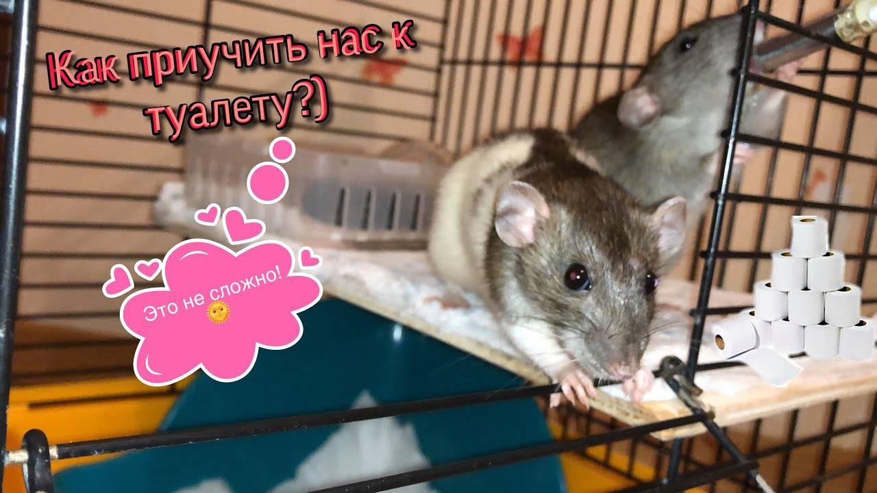 Как ухаживать за домашней крысой?