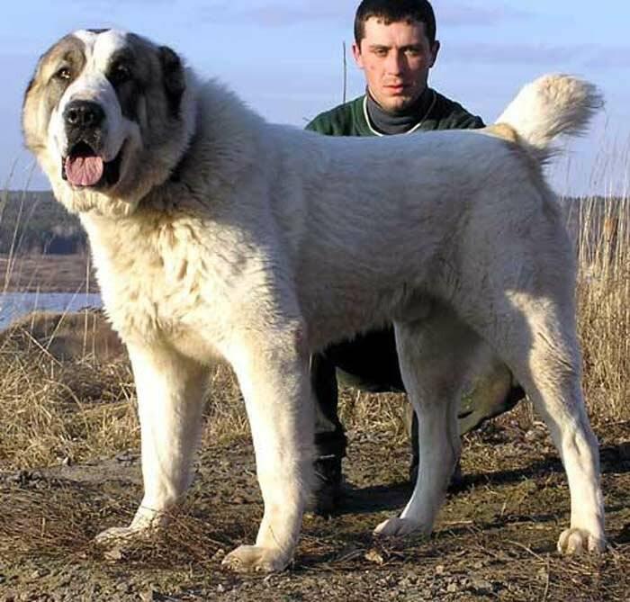 Туркменский алабай и иные разновидности среднеазиатской овчарки.