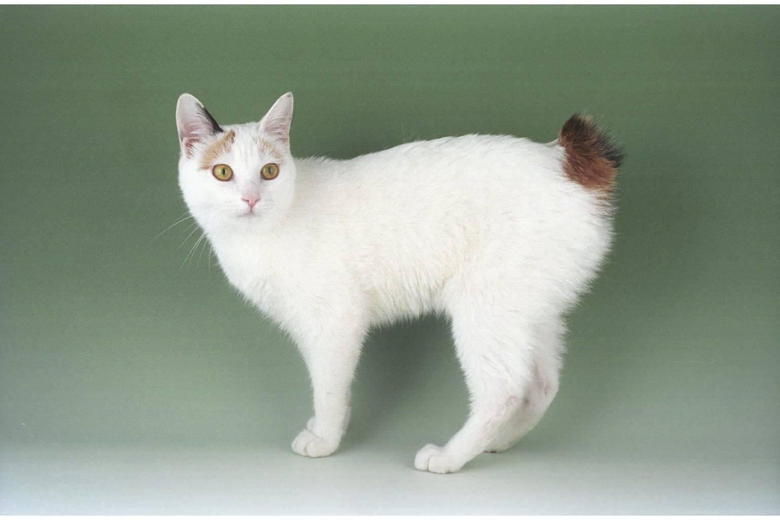 Японские породы кошек — японский бобтейл и его особенности