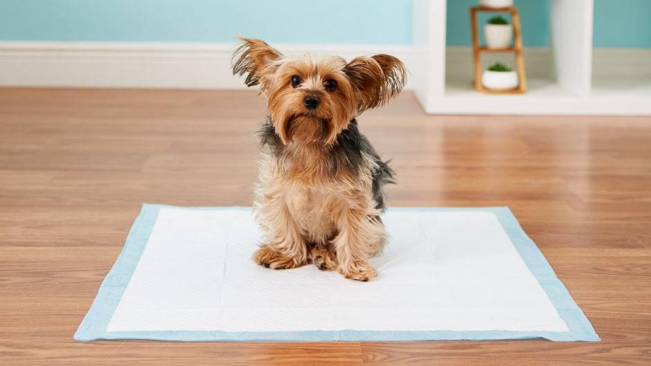 Как приучить собаку ходить в туалет на улицу после пеленки? как приучить собаку ходить в туалет на улицу после пеленки?