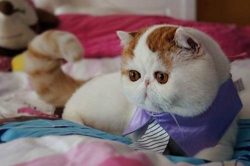 Снупи кошка. описание, особенности, уход и цена кошки снупи | животный мир