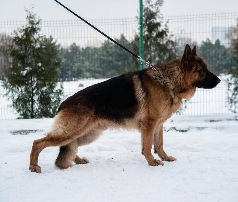 Течка у собак: сколько длится и когда начинается